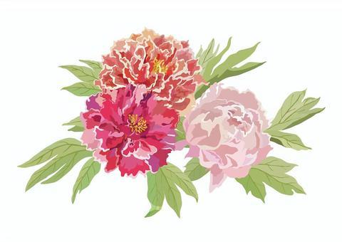Flower material (peony)