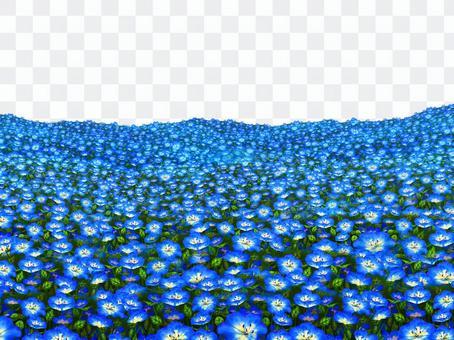Nemophila田野景觀