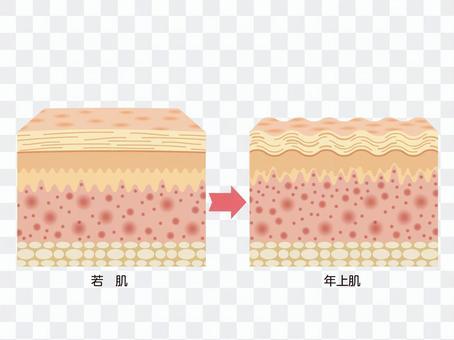 皮膚構造イラスト