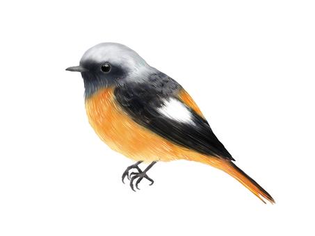 Daurian Redstart (男)