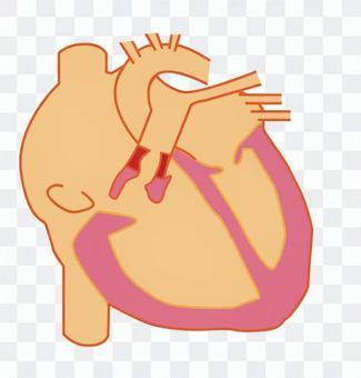 심장 단면 2
