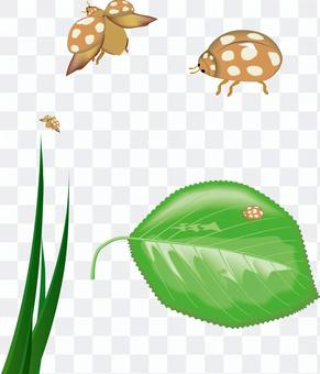 瓢蟲瓢蟲昆蟲