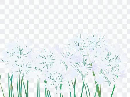 Agapanthus白色2