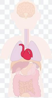 心臟內臟人體