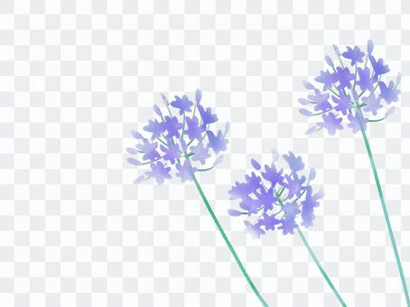 Agapanthus紫色