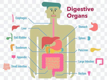 英語の名称入り消化器官のシンプルな図