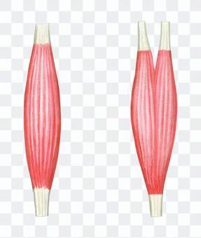 肌肉和肌腱