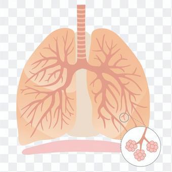 人間の体_肺の構造イラスト