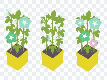 牽牛花盆栽植物/從芽到開花的陰涼色調