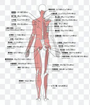 人體肌肉的名稱背面英語