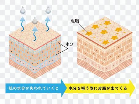 皮膚・断面図・組織図・皮脂・油肌・セット
