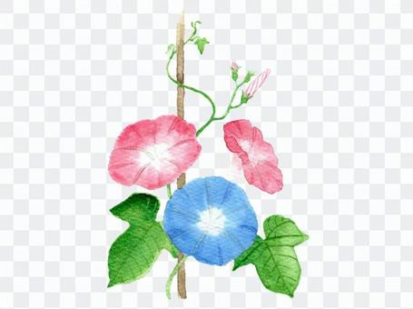 Illustration material of morning glory drawn in watercolor