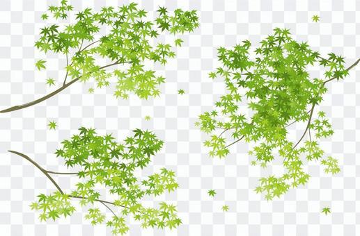Blue maple branch