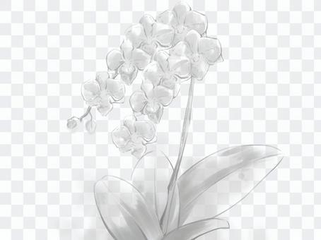 胡蝶蘭 白黒