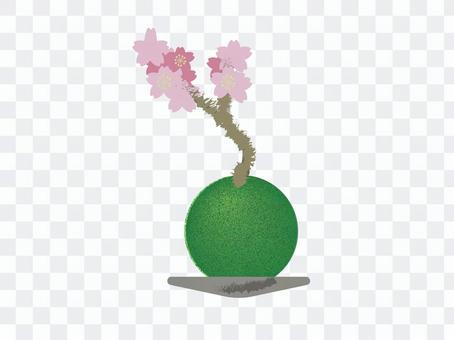 櫻花苔蘚球