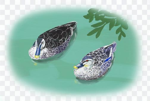 一對斑嘴鴨的插圖
