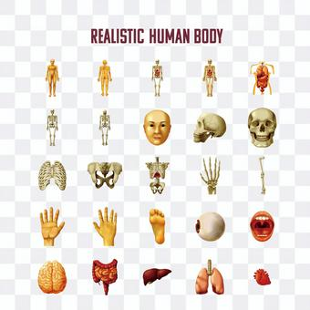 Human body illustration