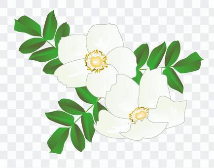 Hamanasu白色