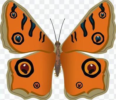 タテハモドキ タテハチョウ科 昆虫