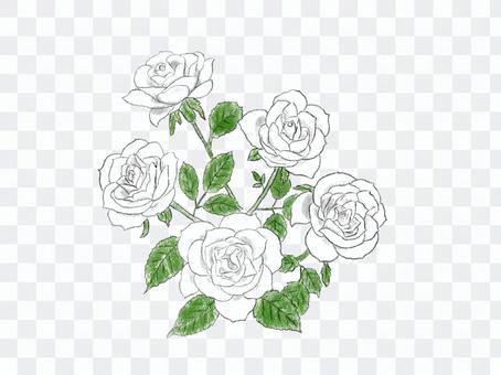 噴霧玫瑰03白