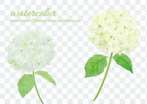 水彩安娜貝爾繡球花