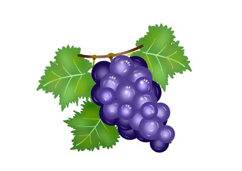 一串葡萄的彩色插圖