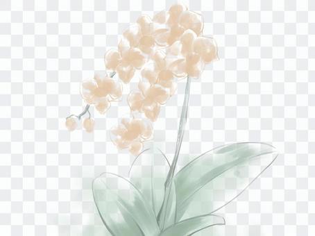 胡蝶蘭 オレンジ
