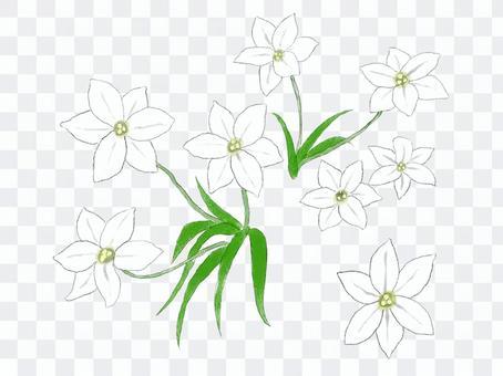 白い花 ハナニラ 手書き