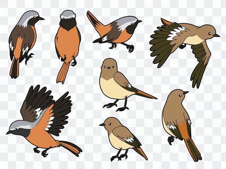 達里安(Daurian Redstart)8種