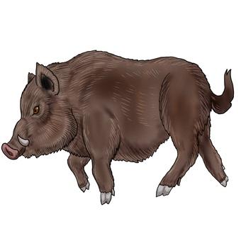 Wild boar side
