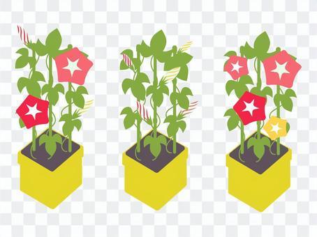 牽牛花盆栽植物/從芽到開花的鮮豔色彩