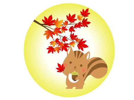 楓松鼠的插圖