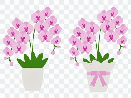 Phalaenopsis potted plant and Phalaenopsis gift