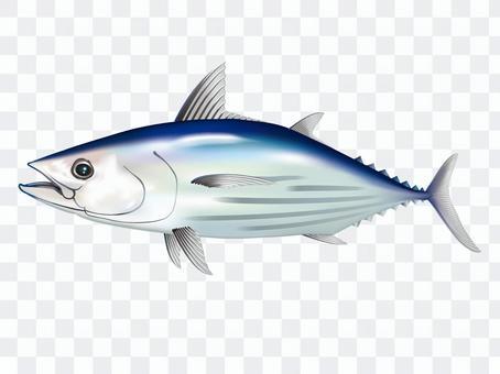 Skipjack illustration _ 001