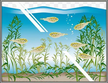 中國蝴蝶Pleco水族館魚缸