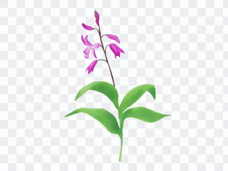 紫色蘭花矽烷