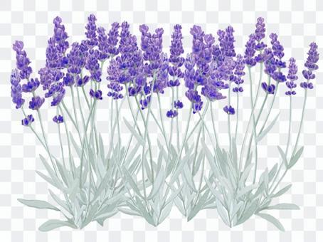 大量盛開的薰衣草