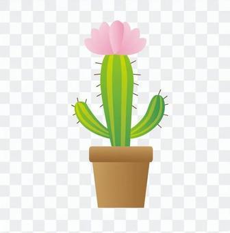 室內植物 - 仙人掌支柱(2級,粉紅色的花朵)