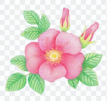 彩色鉛筆素描-濱花