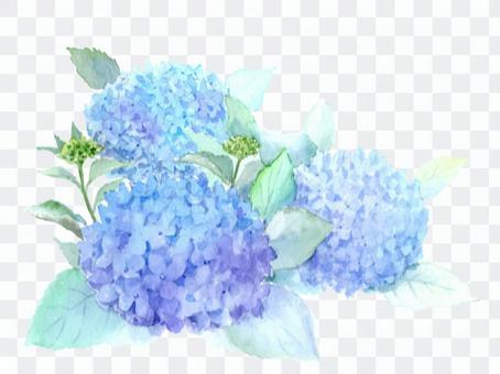 Hydrangea drawn with watercolor