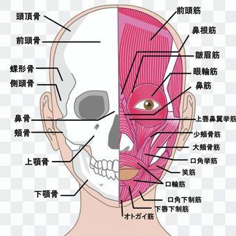 面对前面的肌肉名称