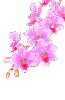 Phalaenopsis orchid (no background)