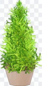 金冠的盆栽植物
