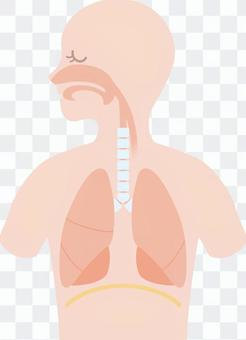人體內臟/呼吸器官