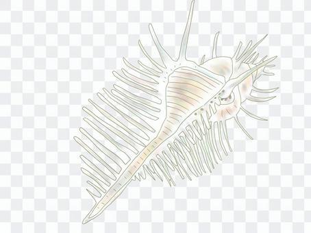 貝殼(金星梳狀骨)