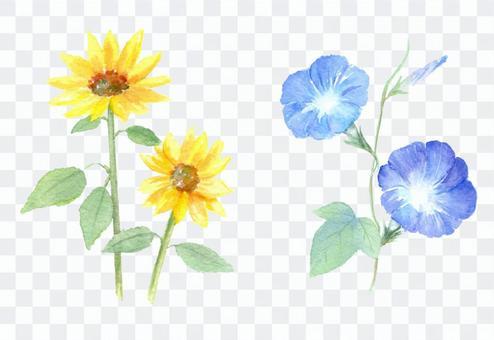 水彩,向日葵和牽牛花畫的夏天花
