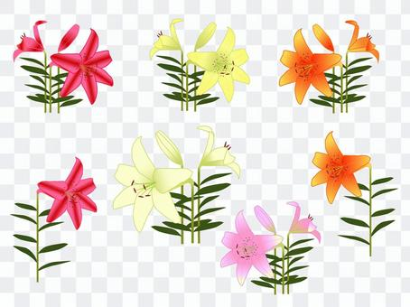 Lily flower illustration material set