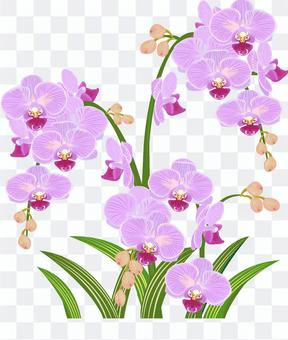 Western orchid pink