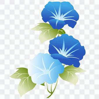 Blue and light blue morning glory