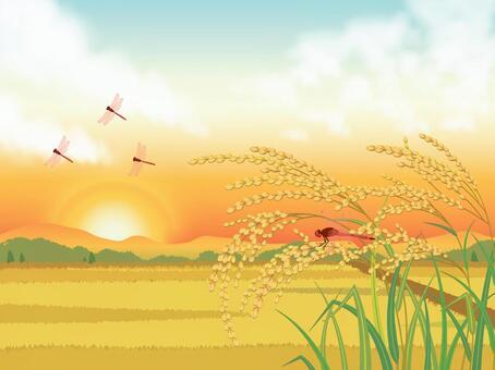 夕陽的天空,稻田和耳朵大米